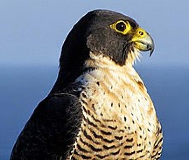 Falco Peregrinus Royal National Park New South Wales Australia The Peregrine Falcon