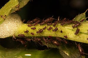 jpeg image, aphid infestation.