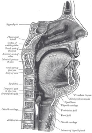 The nasopharynx, oropharynx, and laryngopharyn...