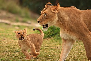 Lions & Lion Cubs March 2008