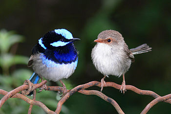 English: Male and Female Superb Fairy-Wren.Tak...