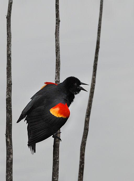 Red-winged Blackbird at Lake Woodruff - Flickr - Andrea Westmoreland (2)