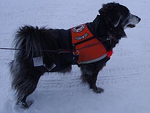 Suzi Q, a certified service dog, working in sn...