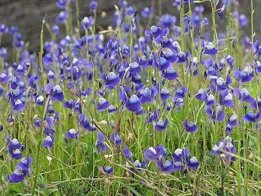 Utricularia reticulata 02