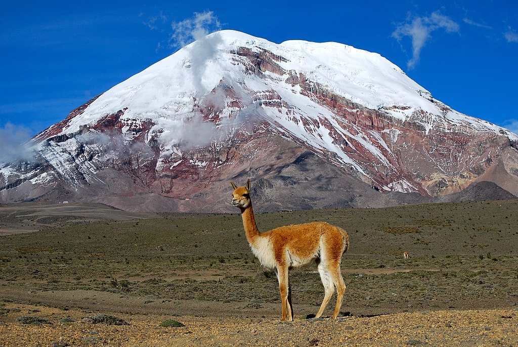 Vicuña - Chimborazo, Ecuador