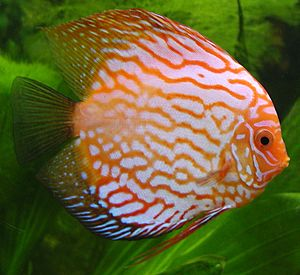 The discus, Symphysodon spp., has been popular...