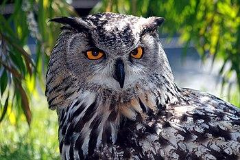 Eurasian Eagle Owl. Français : Hibou grand-duc...