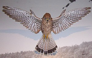 Falco_tinnunculus_(Turmfalke)