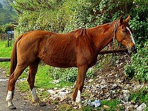 English: Horse shot at Munnar