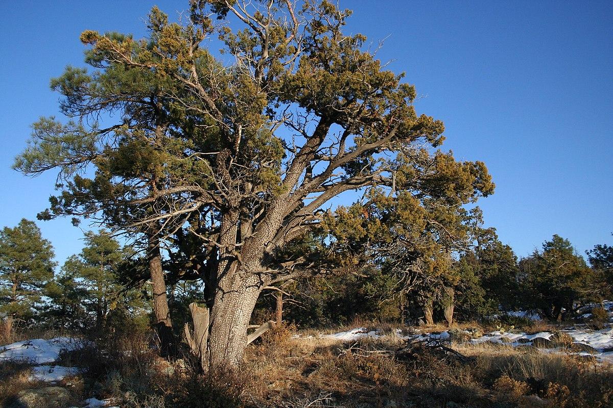 Juniperus Deppeana Wikispecies