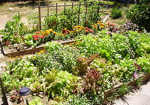 Raised bed of lettuce, tomatoes, 6 different t...