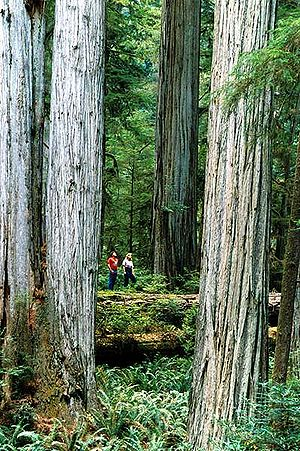 Sequoia sempervirens and visitors in Redwood N...