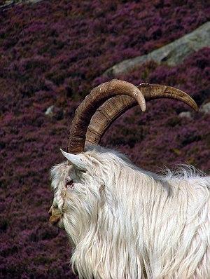 Saanen goat, Holy Isle.