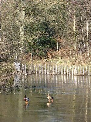 Walking on Water Ducks waddling across the ice...