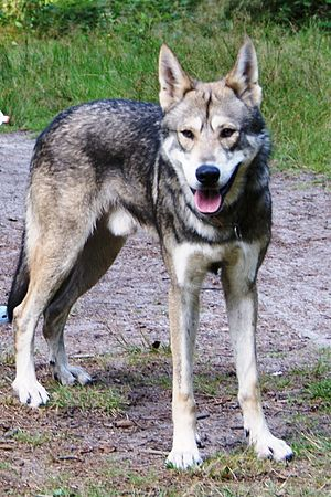 English: Saarloos Wolfdog male Polski: Samiec ...