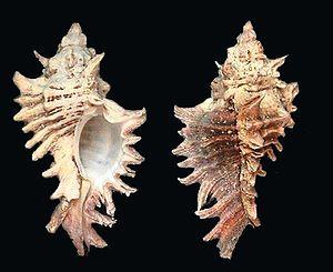 Foto de Chicoreus brevifrons (Gastropoda: Neog...