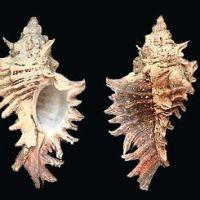 Types of Murex Shells