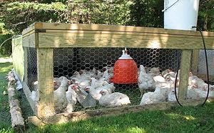 Broiler type Cornish Rock chickens on pasture ...