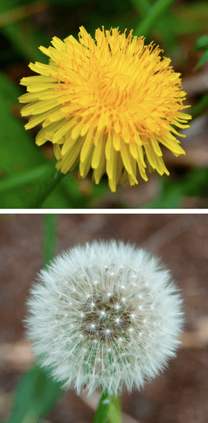 Comparison of the yellow flower and parachute ...