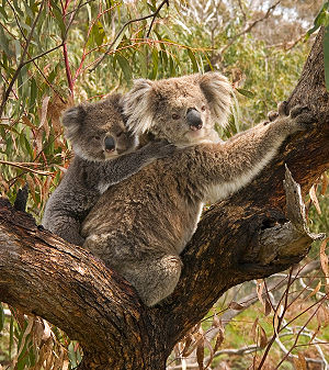 Koala and baby on back.