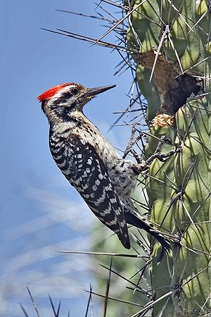 Ladder-Backed Woodpecker (Picoides scalaris), ...