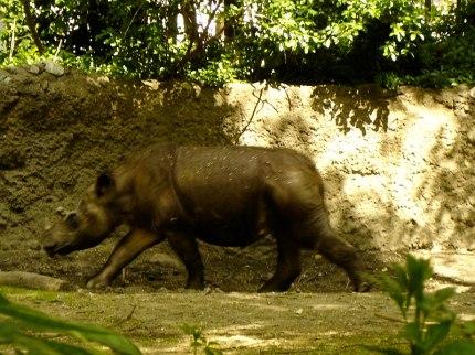 Berkas:Sumatran Rhinoceros - Rapunzel.jpg