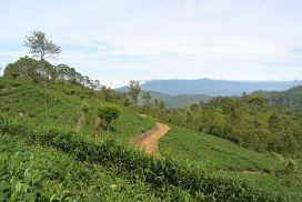 Tea plantation Haputale