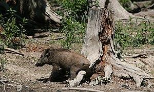 Description: The Wild Boar (Sus scrofa) is the...