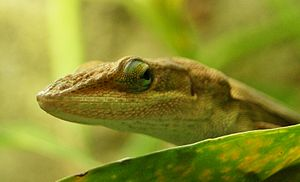 English: Green anole (Anolis carolinensis) (ma...