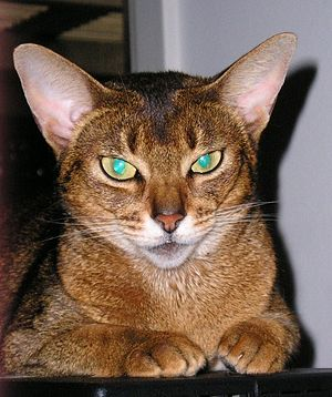 green-eyed abyssinian