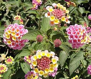 Lantana flowers, Galilee, Israel
