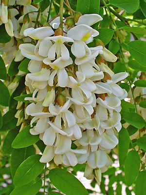 English: Robinia pseudoacacia, Fabaceae, Black...