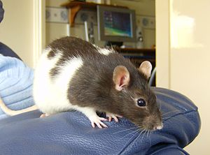 A brown hooded rat show sitting on the arm of ...