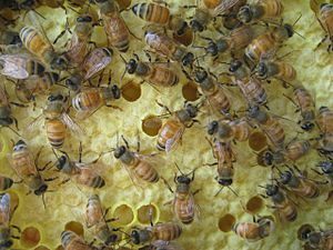 English: Honey bee workers on comb of brood