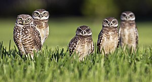 English: Five burrowing Owls (Athene cunicular...