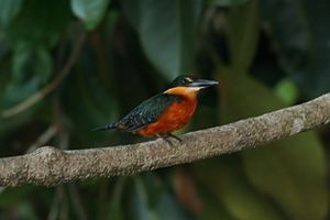 A male Green-and-rufous Kingfisher on Chalalan...