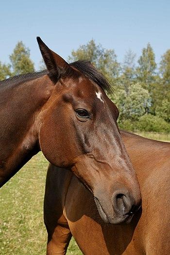 English: Standardbred horse.