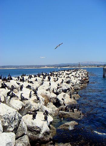 Rock wave break with birds, Monterey Cailfornia