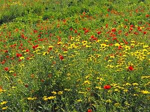 עברית: פרחי בר באביב.