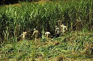 Harvesting of sugarcane on Mauritius