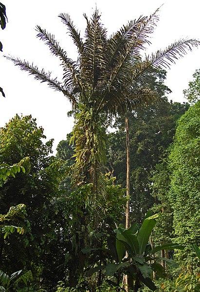 Tipos de Palmeras Arenga (botánica)  Cuidado de Plantas
