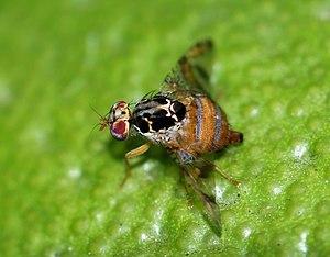English: A female Mediterranean fruit-fly (Cer...