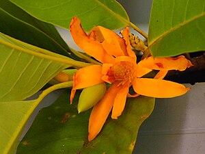 English: Michelia champaca or cempaka kuning i...
