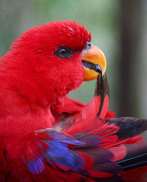 English: Red Lory (Eos bornea) upper body pree...