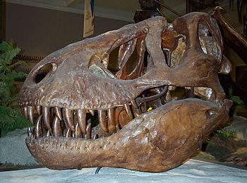 Skull of Tyrannosaurus rex, type specimen (CM ...