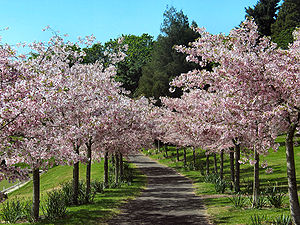 Cherry grove in flower at the Auckland Domain.