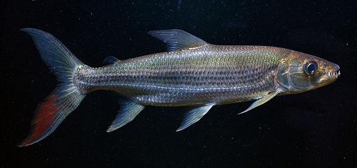 Hydrocynus goliath