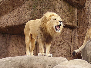 A photo I took of a lion at the Lincoln Park Zoo.