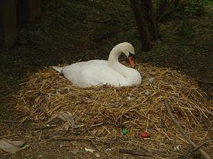English: Swan nesting at Tewkesbury Next to th...