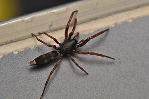 English: Australian White-Tailed Spider (Lampo...